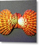 Royal Cloak Scallop Seashell  Metal Print