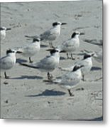 Royal Terns #3 Metal Print