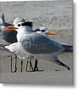 Royal Terns And Gulls Metal Print