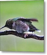 Rubbing Its Bill - Ruby-throated Hummingbird Metal Print