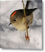 Ruby-crowned Kinglet Metal Print