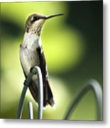 Ruby-throated Hummingbird Metal Print by Christina Rollo