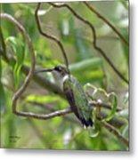 Ruby-throated Hummingbird - Female Metal Print