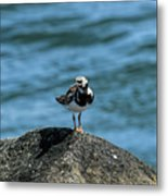 Ruddy Turnstone 2 Metal Print