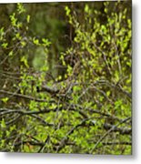 Ruffled Grouse Metal Print