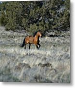 Running Bachelor Stallion Metal Print