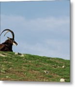 Sable Antelope On Hill Metal Print