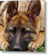 Sable German Shepherd Puppy Metal Print