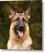 Sable German Shepherd Metal Print