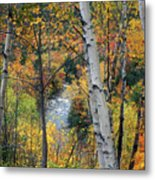 Saco River And Birches Metal Print