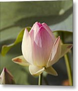 Sacred Lotus - Nelumbo Metal Print