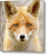 Sad Eyed Fox Of The Lowlands - Red Fox Portrait Metal Print