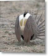 Sage Grouse Metal Print