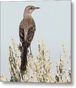 Sage Thrasher On Perch Metal Print