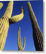 Saguaros Dwaft One Another Metal Print