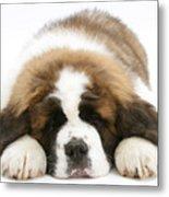 Saint Bernard Puppy Sleeping Metal Print