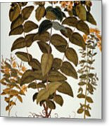 Saint-johns-wort, 1613 Metal Print