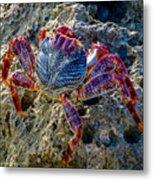 Sally Lightfoot Crab 1 Metal Print