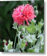 Salmon Poppy Metal Print