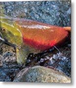Salmon Spawning Metal Print