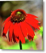 Salsa Red Coneflower Metal Print