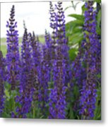 Salvia In The Spring Metal Print