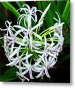 Samoan Spider Lily Metal Print