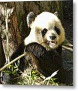 San Diego Panda Metal Print