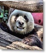 San Diego Zoo California Giant Panda Metal Print