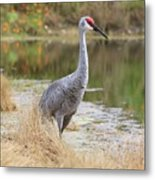 Sandhill Beauty By The Pond Metal Print