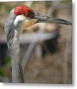 Sandhill Crane Closeup Metal Print