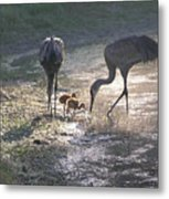 Sandhill Crane Family In Morning Sunshine Metal Print by Carol Groenen