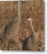 Sandhill Cranes On Watch Metal Print