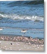 Sandpipers And Seashells - Poster Metal Print