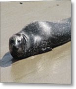 Sandy Beach With Harbor Seal Metal Print