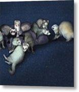 Sandy's Ferrets Metal Print