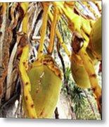 Sanibel Coconuts Gp Metal Print