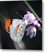 Sara Orange-tip On Wild Hyacinth Metal Print