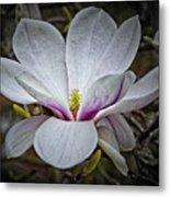 Saucer Magnolia - Magnolia Soulangeana Metal Print