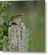 Savannah Sparrow.. Metal Print