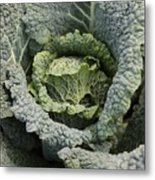 Savoy Cabbage In The Vegetable Garden Metal Print