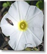 Sawfly On A Beach Morning Glory Flower Metal Print