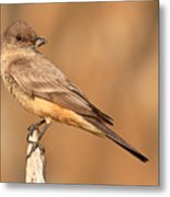 Say's Phoebe Looking Back With Insect Grasped In Beak Metal Print