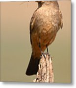 Say's Phoebe On Perch With Grasshopper In Beak Metal Print