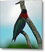 Scarlet Gorget - Ruby-throated Hummingbird Metal Print