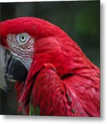 Scarlet Macaw Metal Print by Fabio Giannini