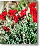 Scarlet Red Dianthus Metal Print