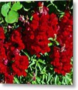 Scarlet Snapdragons At Pilgrim Place In Claremont-california  Metal Print