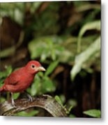 Scarlet Tanager In Costa Rica Metal Print