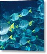 School Of Surgeonfish Cruising Reef Metal Print